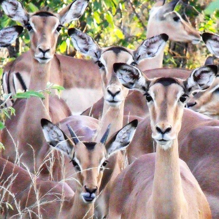 Herd of impala Motwsari Private Reserve South Africa. Beware they are watching you!