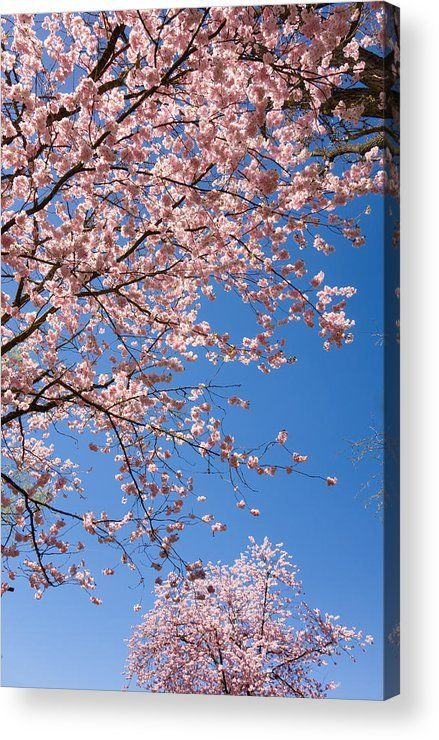 Pink and blue spring, Acrylic Print for sale. Cherry blossom - pretty pink trees in full bloom and a perfect blue sky, wonderful spring scenery. The image gets printed directly onto the back of a sheet of clear acrylic. The image is the art - it doesn't g