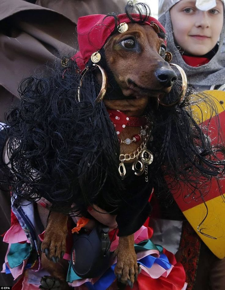 St. Petersburg Dachshund costume parade 2017 - I don't know. I'm not so keen on dressing up dogs. I don't like humiliating them w my fantasies. They're already too cute.