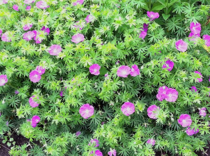 Cranesbill Or The Hardy Geranium Is One Of My Favorite