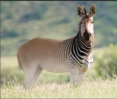 Half Horse Half Zebra Half Giraffe