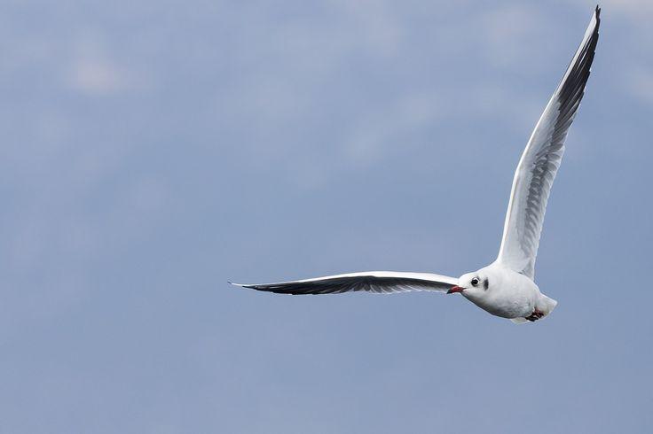 Καστανοκέφαλος-Blackheaded gull (Chroicocephalus ridibundus)