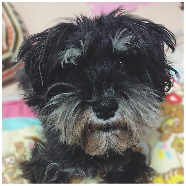 . . マテしてるあもぴ。 はやく骨ちょーだいって顔してる。かわいい。 こないだシャンプー パパッとしただけだから お顔がもじゃ子。カットしなきゃねえ〜〜。 . #あも#あもぴ#シュナウザー#愛犬#もじゃ子 #待てしてる#ちょーだいの顔#可愛い#かわいい #amo#schnauzer#petdog#wait#cute#love #instagood#instalike#instadog#instacute . .