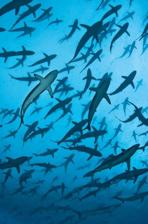 Silky sharks by Tomas Kotouc  Awesome