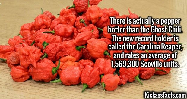 2581 Carolina Reaper-There is actually a pepper hotter than the Ghost Chili. The new record holder is called the Carolina Reaper, and rates an average of 1,569,300 Scoville units.