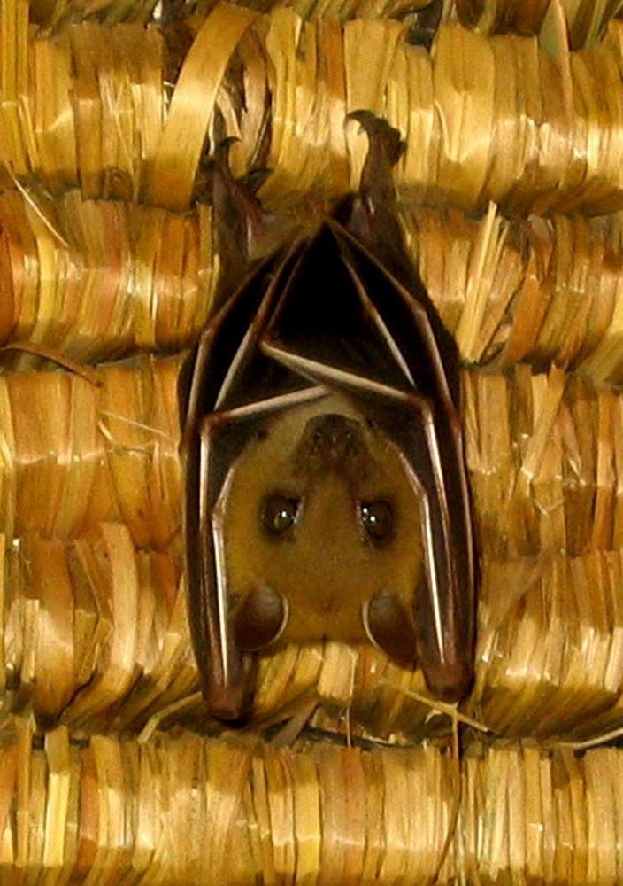 Steckbrief Fledermaus;    Bild ist auf Bali entstanden  Größe29 mm bis 14 cm   Geschwindigkeitbis 65 km/h   Gewicht2-200 g   Lebensdauer10-30 Jahre   ErnährungInsekten, Früchte, Tierblut   FeindeKatzen, Greifvögel, Schlangen   LebensraumWeltweit (außer Antarktis und Polarregionen)   OrdnungFledertiere   FamilieFledermäuse   Wissenschaftl. NameMicrochiroptera   Merkmaleeinziges Säugetier, das fliegen kann  Es gibt über 900 Fledermausarten weltweit, die lustige Namen wie…