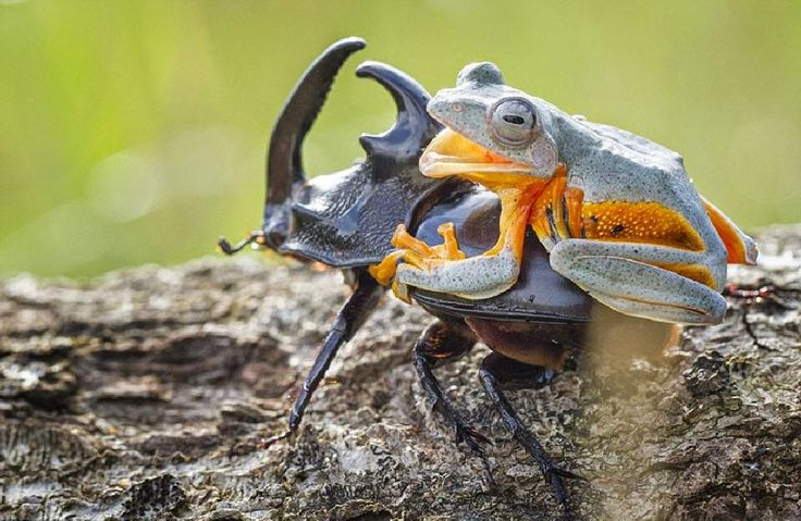 frog riding beetle by mytatsuko