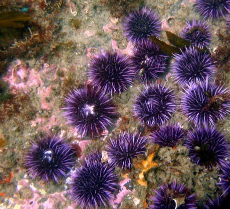 Purple Sea Urchins (Strongylocentrotus purpuratus)