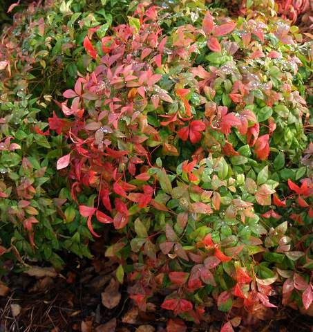 nandina shrub changes color with each season and produces winter berries considered invasive. Black Bedroom Furniture Sets. Home Design Ideas