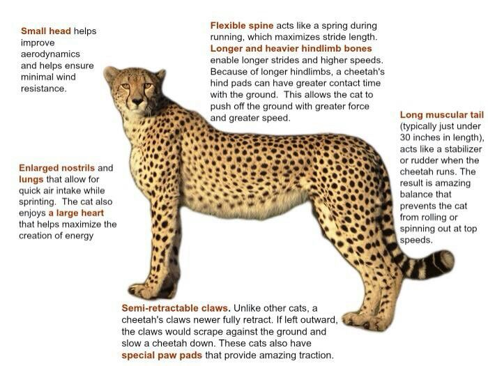 Cheetah Stats Bengals Savannahs Asian Leopard Cats
