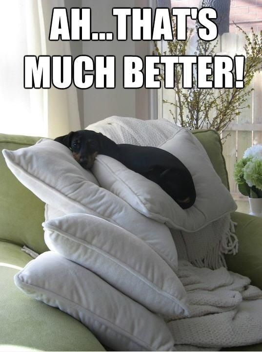 I could use one more!!!: Funny Dogs, Dachshund, Pet, Weiner Dogs, Wiener Dogs, Princesses, Pillows, Dogs Bones, Animal