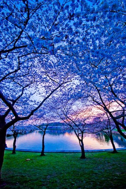 Gorgeous: Cherries Blossoms, Charlottesvill Virginia, Blue Sky, Color, Charlottesvil Virginia, Blue Dusk, Beautiful Places, Periwinkle Blue, Photo