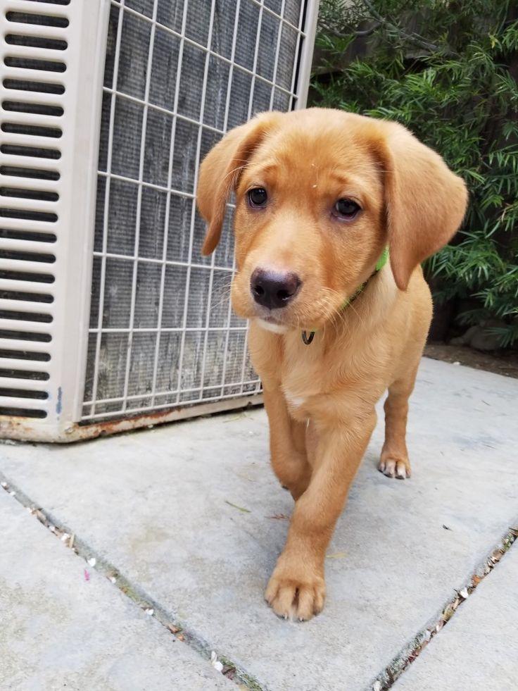Fox red Labrador puppy!