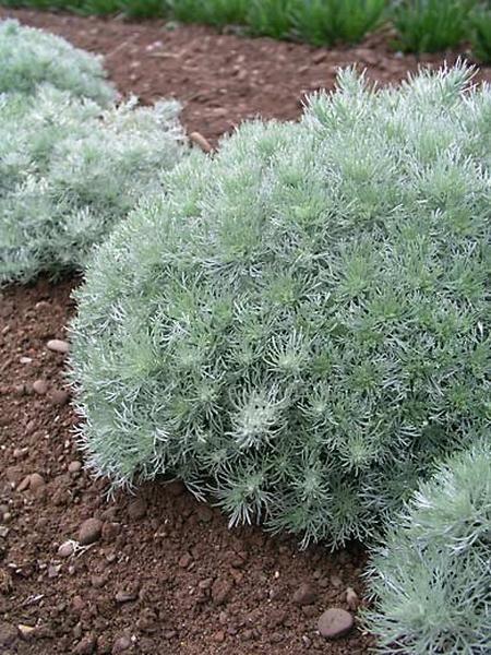 Thyme Ground Cover Perennials: Artemisia, Silvermound Sage