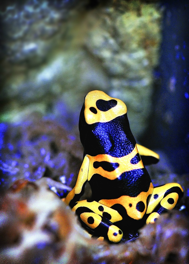 Yellow and black poison arrow frog at Northampton Reptile Centre