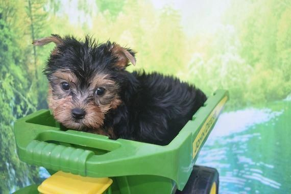 Where To Train Your Dog Dogtraininginmiami In 2020 Yorkshire Terrier Puppies Yorkshire Terrier Yorkie Terrier