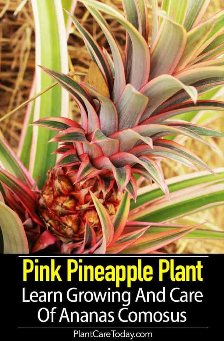 Pink Pineapple Plant Learn Growing And Care Of Ananas Comosus