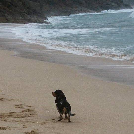 Des nouvelles du Royaume Uni 🇬🇧 JESSE d'An Naoned 💜 Cornwall Beach 🌊 Mâle Basset bleu de Gascogne né le 20/03/14 (Houston d'An Naoned x Gavroche des Plaines de la Mare Jouenne) 📷 Mme Gray  #basset #bbg #bassetbleudegascogne #beach #plage #cornwall #cornouailles #dog #chien #hund #cani #pet #doglovers #travel #dogpics #capcornwall #cute #jesse