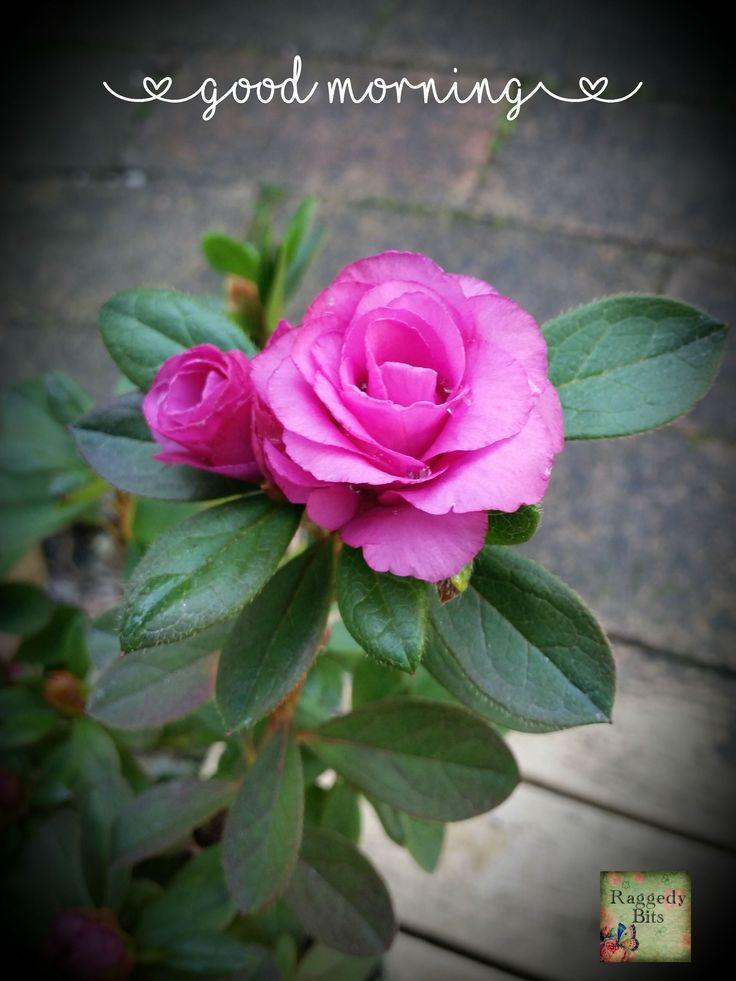 Sweet Azalea from  our garden.