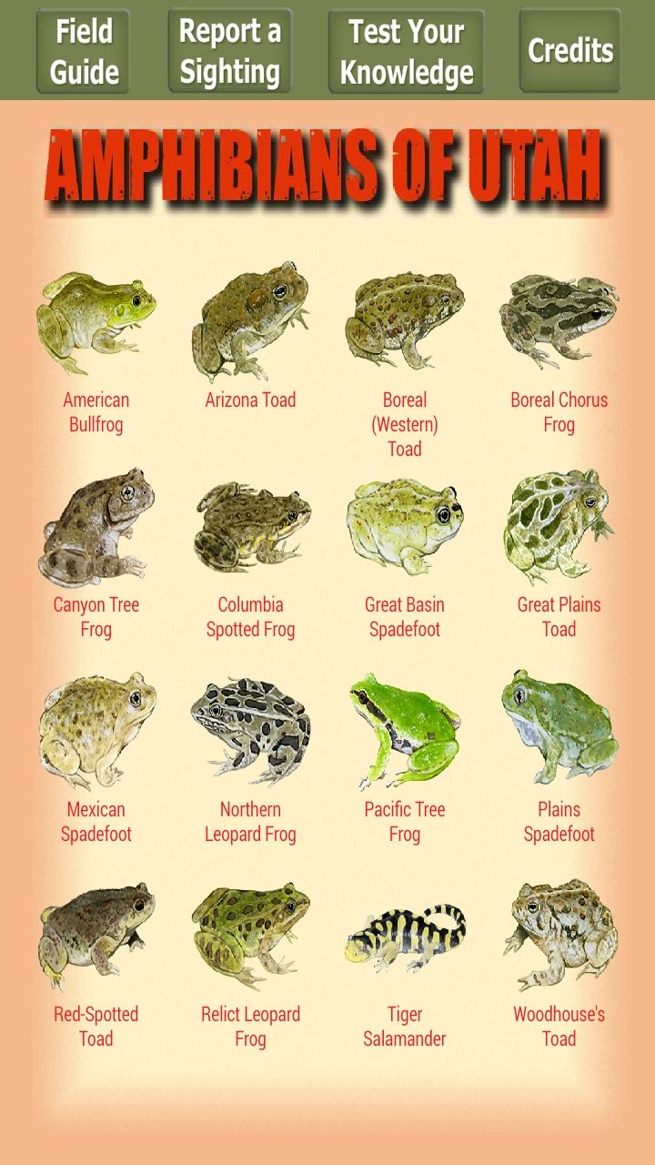 14 best frogs and toads images on pinterest amphibians frogs