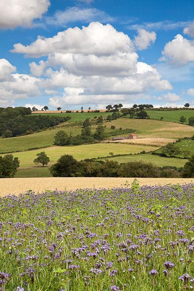 Thistles and Wheat, The Yorkshire Wolds by Chris Ceaser