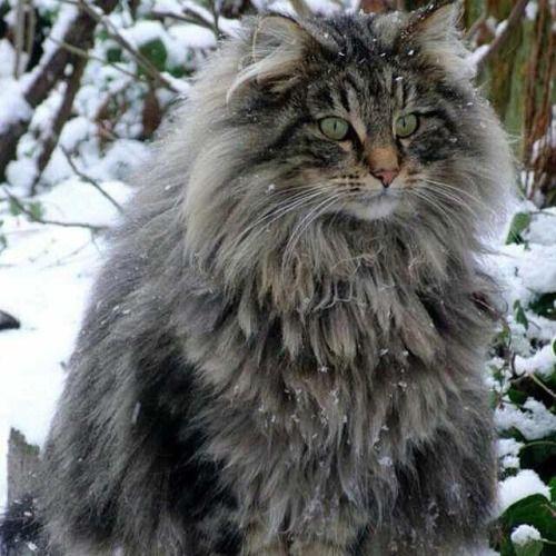 martinaelm:  My cuddly feelings are uncontrollable! #norwegianforestcat #norwegian #norway #cat #cats #kitty #kitties #instapet #ilovecats #skogkatt #vikings #viking by roseblssom http://ift.tt/1v1DcQA