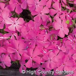 "5"" Tall x 21"" Wide. This stunning native Moss Pink cultivar will dazzle you with its early to mid-spring display of extra large, deep pink flowers. 'Drummons Pink' is an excellent evergreen ground cover. Be sure to plant it with mid-spring blooming daffodils and other bulbs for a memorable floral display. Zones 3-9. 3"" deep Standard pot."