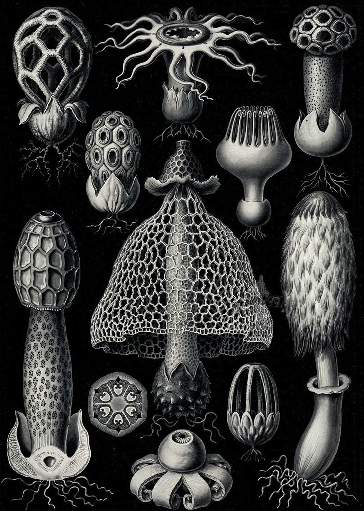 Ernst Haeckel. Hexacoralla, Ascomycetes, Lichenes, Phaeodaria, Ophiodea, Spumellaria, Basimycetes, Diatomea, Amphoridea. Kunstformen der Natur (Art Forms in Nature). 1899-1904.