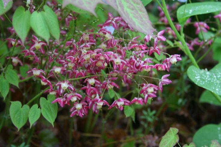 Epimedium rubrum - hearty shade perennial