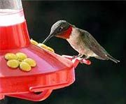 We look up this humming bird water recipe about every month when we forget the ratio: 1 part sugar to 4 parts hot water!