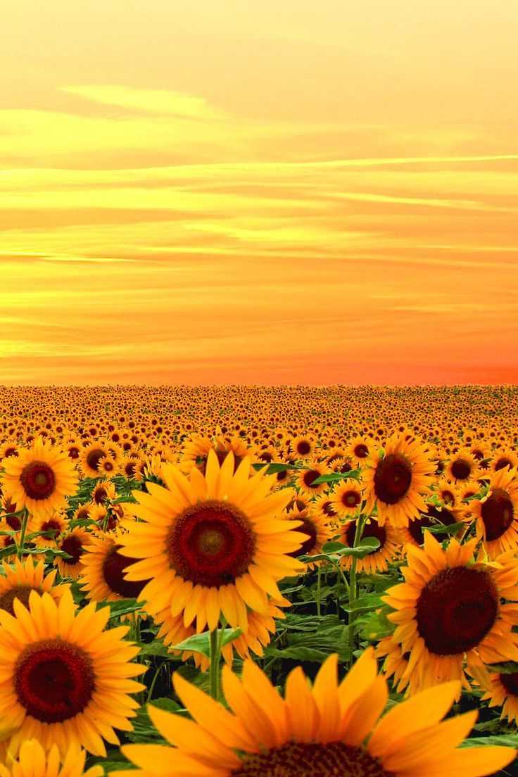 Sunset in Sunflower field, Maryland…                              …