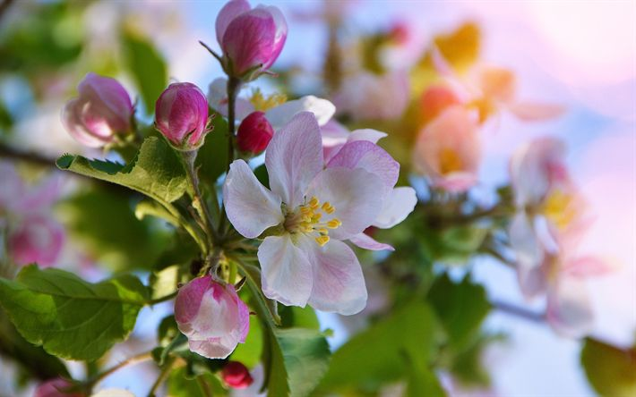 Download wallpapers cherry blossom, spring, pink flowers, spring flowering