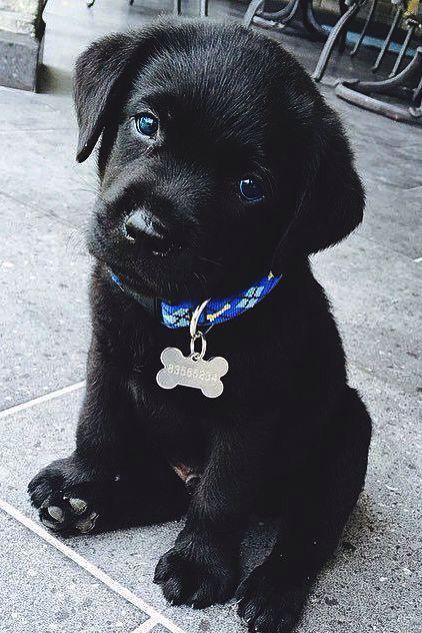 Cutest black lab puppy