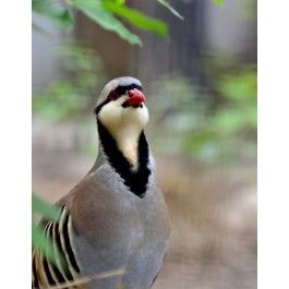 Chukar Partridge - Chukar Chicks for Sale | Cackle Hatchery