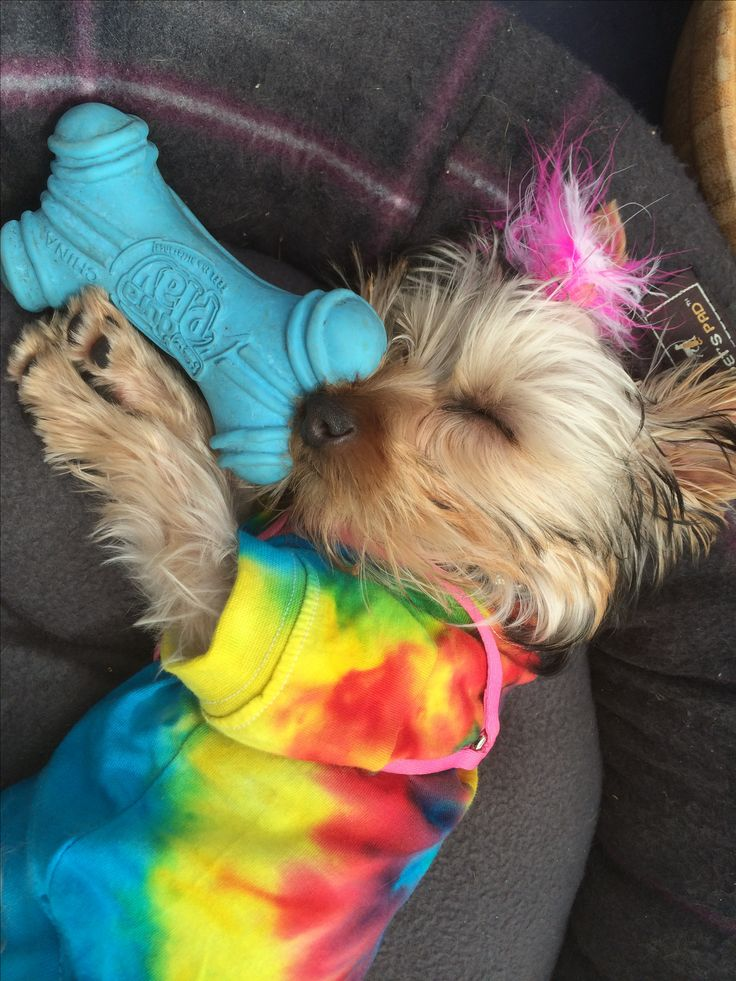 Sleepy hippie yorkie