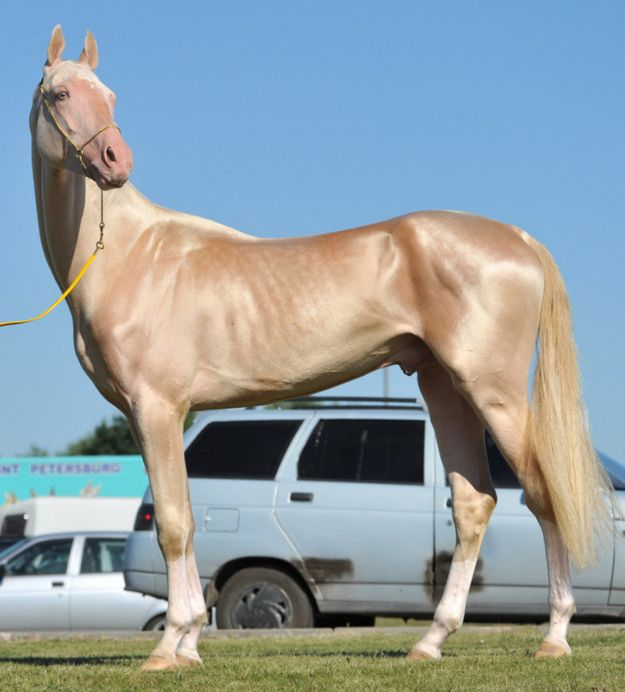 Behold, the most beautiful horse to have ever clopped! Akhal-Teke. Myself, hot blooded, I like the coat but not crazy about their confirmation. Just my opinion.