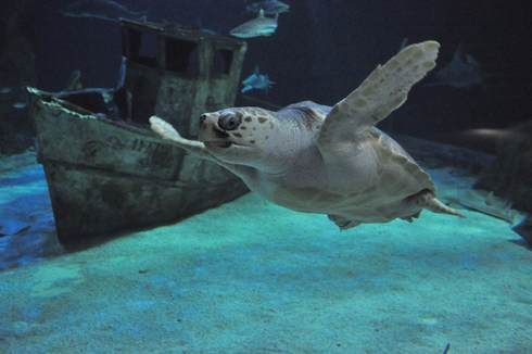 Les deux jeunes tortues Caouanne se sont bien acclimatées à l'Océarium