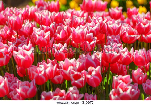 red tulip field close up - Stock Image