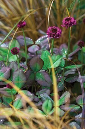 Trifolium repens 'William'