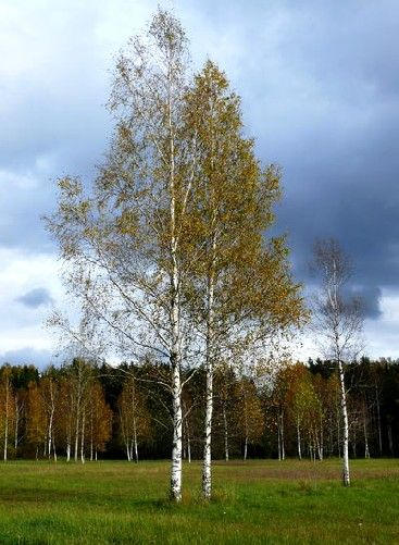 20 best betula pendula abedul images on pinterest betula pendula birch and birches. Black Bedroom Furniture Sets. Home Design Ideas