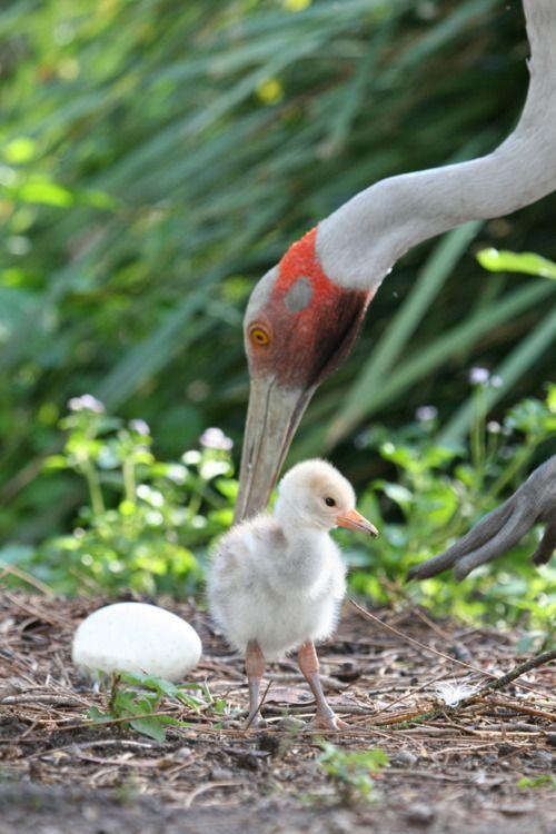 australian crane, with chick