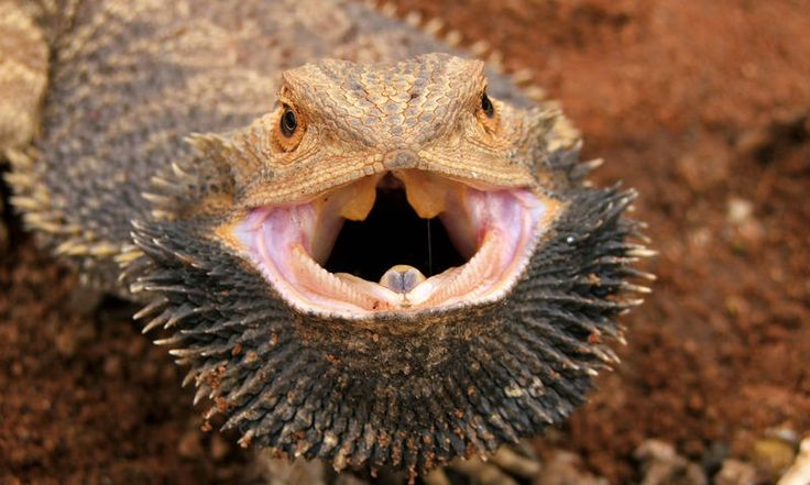 An angry bearded dragon. www.secretearth.com/destinations/52-uluru-and-the-red-centre