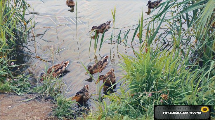 Kaczki nad wodą