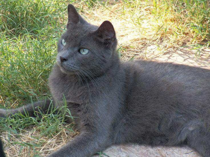 Sweet Russian Blue mix, adult neutered male cat ...