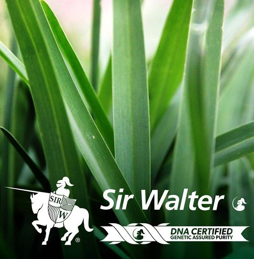 Sir Walter DNA Certified Buffalo | Lilydale Instant Turf | Love your lawn | Great grass | Lily & Dale | Follow us | Garden Tips & Advice | Contact us | Lawn Solutions Australia