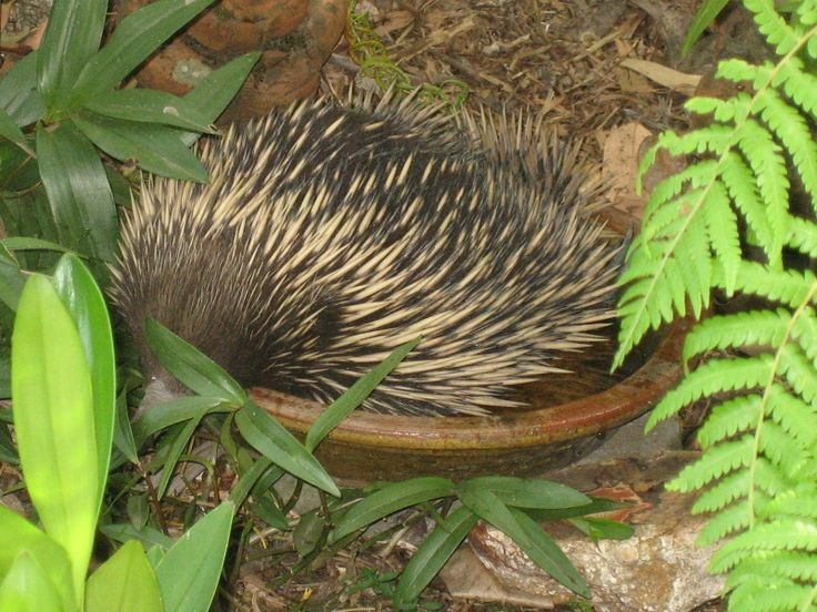 Hot Summer's day. Echidna takes time out in the bird bath.