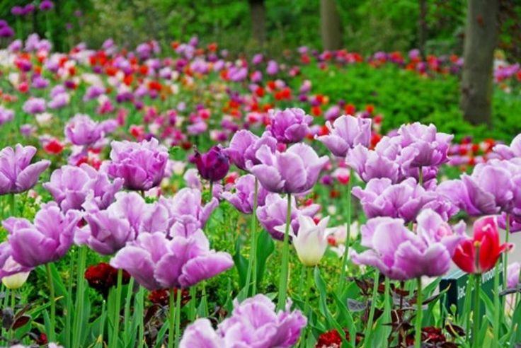 25 unique tulip season ideas on pinterest tulip blush for What season are tulips
