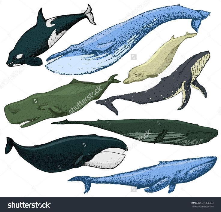Set Of 8 Whales From The World / Include Finback, Humpback, Blue Whale, Sperm Whale, Bowhead, Killer Whale, Northern Bottlenose Whale. Vector Hand Made Illustration Isolated On White - 481396393 : Shutterstock