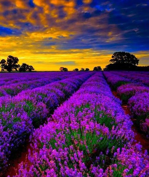 Best 25 Lavender Fields France Ideas On Pinterest Provence Lavender Provence France And