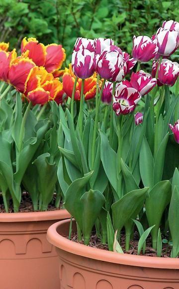 Die meisten Blumenzwiebeln müssen im Herbst gepflanzt werden und sorgen dann schon im nächsten Frühjahr für bunte Farbtupfer im Garten. Auf unserer Themenseite rund um Blumenzwiebeln finden Sie verschiedene Zwiebelblumen-Porträts, Pflanzanleitungen, Pflegetipps und Gestaltungsideen mit Tulpen, Zierlauch, Narzissen und anderen Zwiebelblumen.